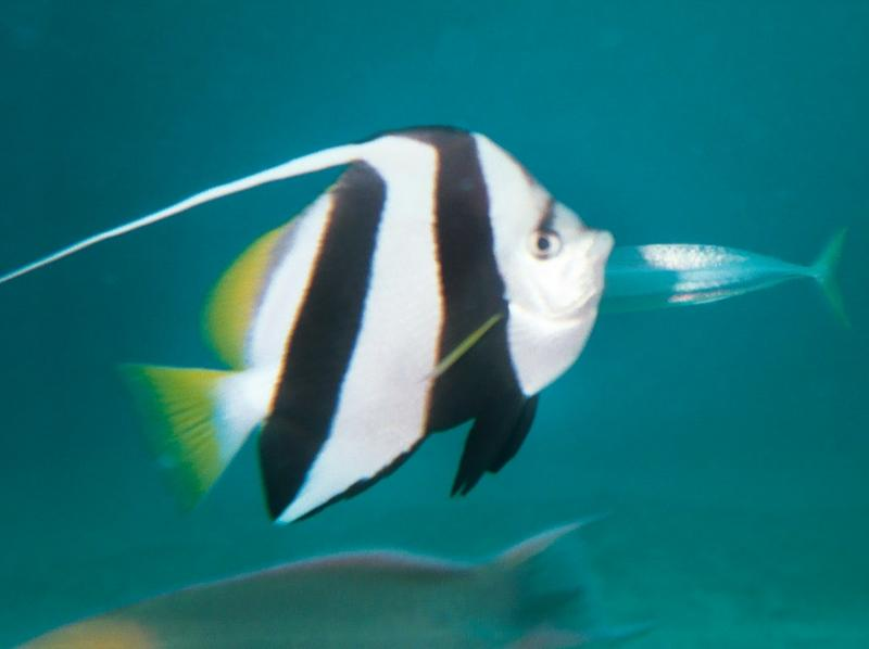 penant butterflyfish