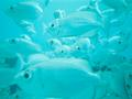 school of bigeye fish