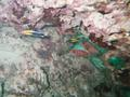 squirrel fish and cleaner wrasse