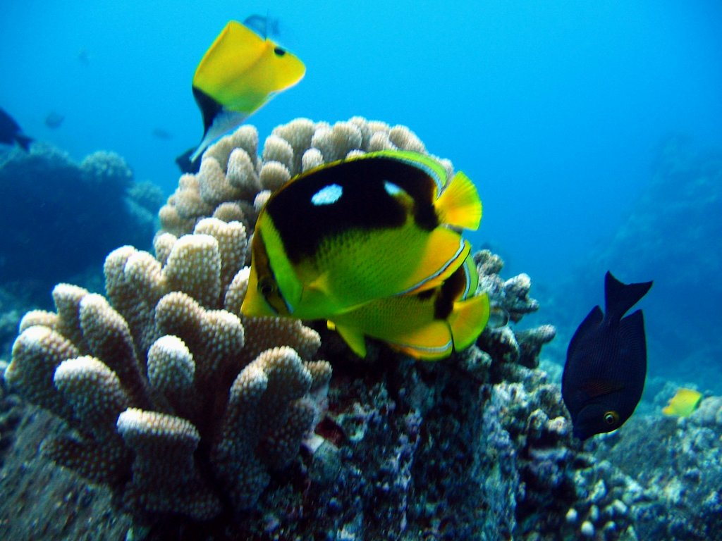 fourspot butterflyfish w/others