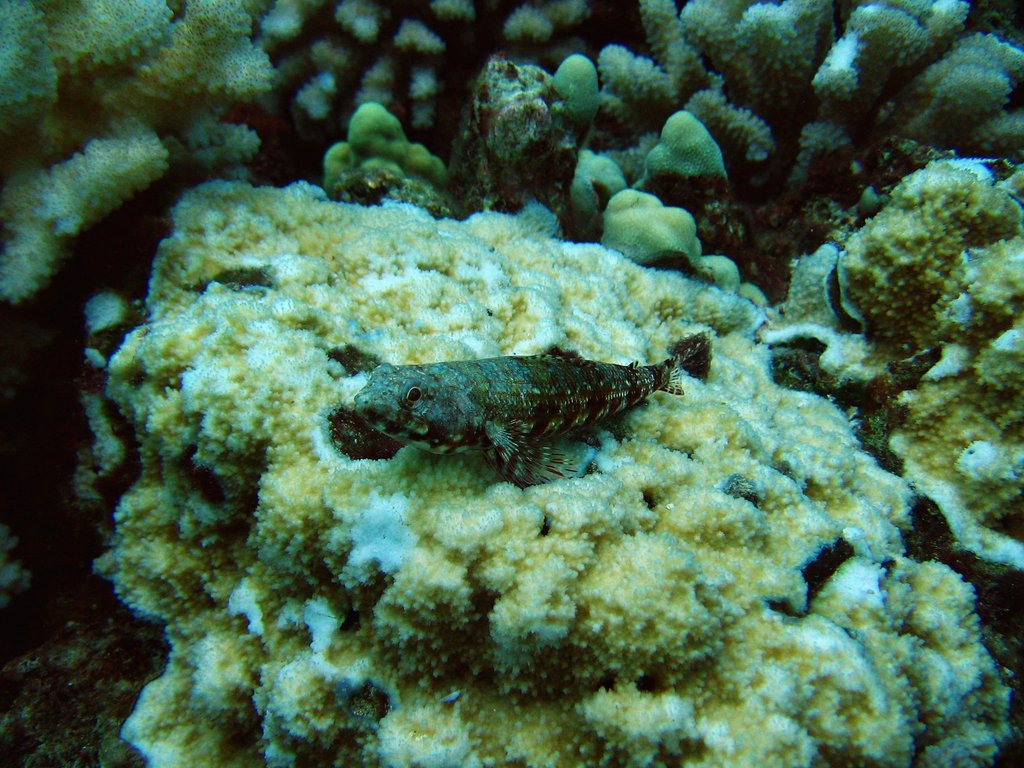 two-spot lizardfish