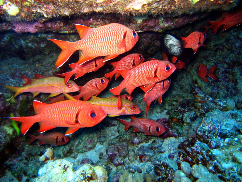 bigscale soldierfish