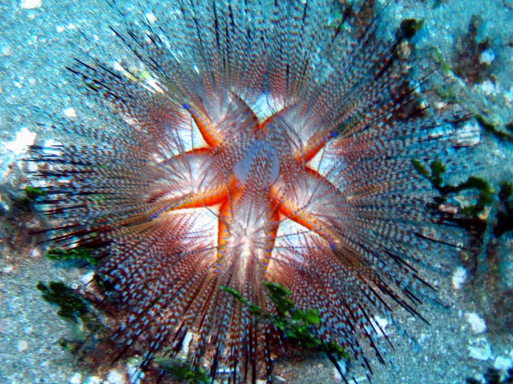 blue-spotted urchin
