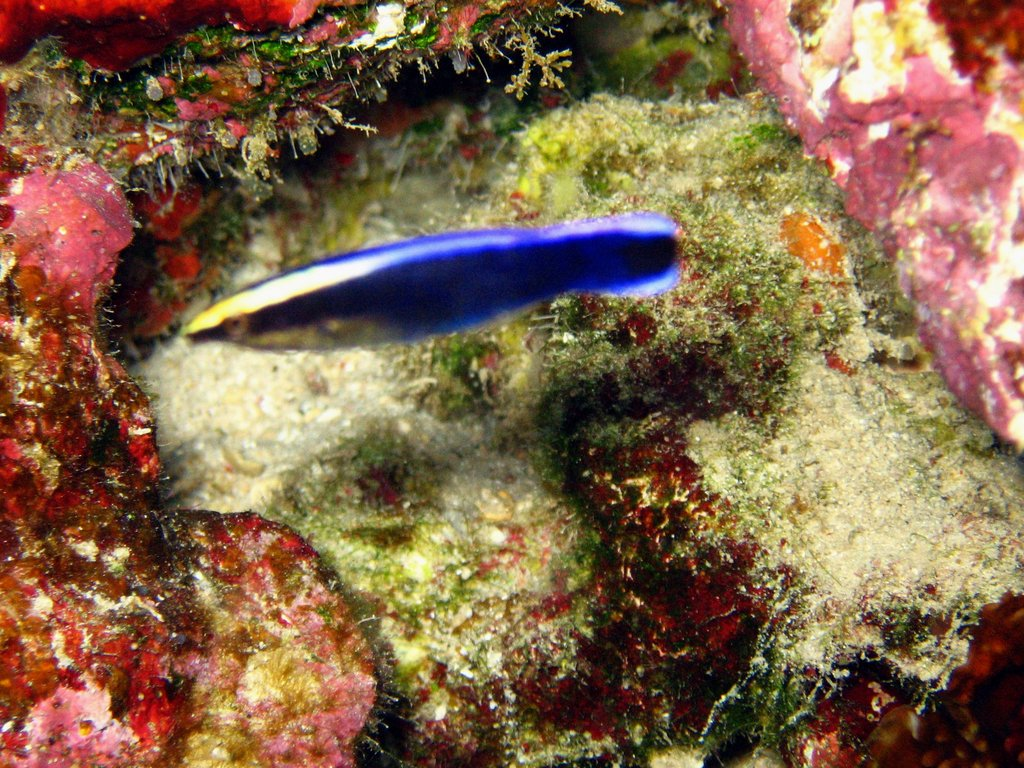 cleaner wrasse (adult)
