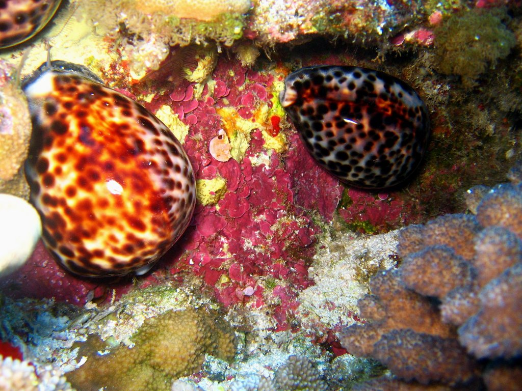 tiger cowries