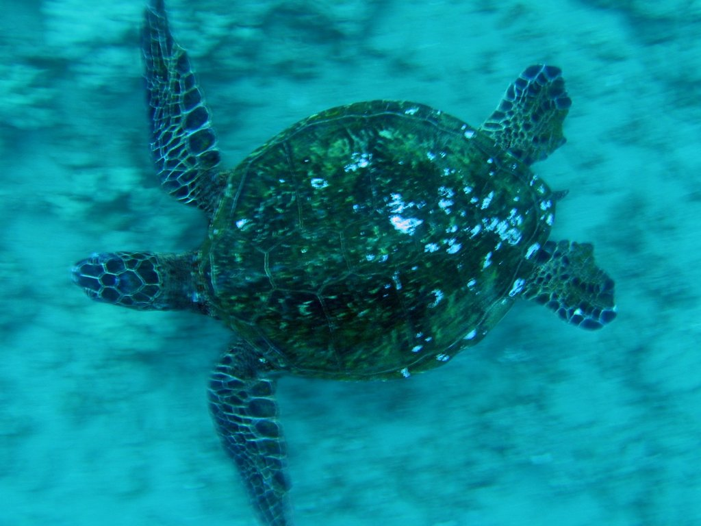 green sea turtle in flight