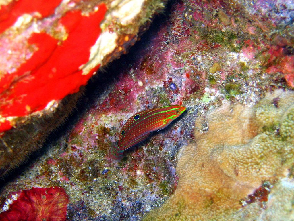ornate wrasse