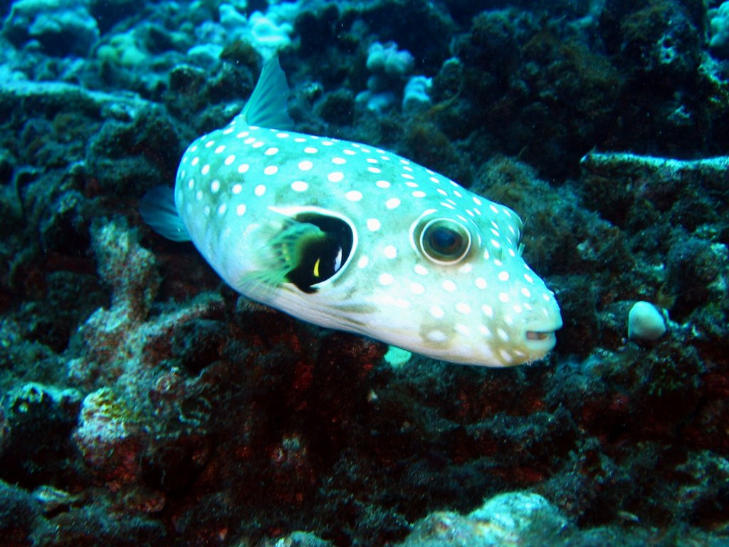 stripedbelly puffer
