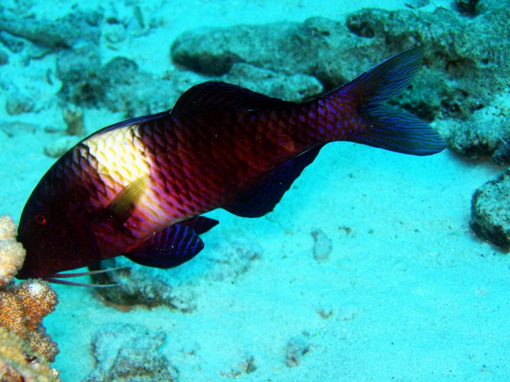 multibar goatfish