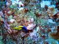 Hawaiian cleaner wrasse (adult)