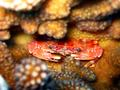 small red crab