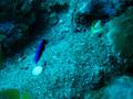 Hawaiian cleaner wrasse (juvenile)