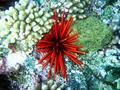 red pencil urchin