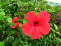 red chinese hibiscus
