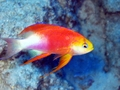 hawaiian longfin anthias